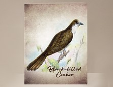 View Black-billed Cuckoo Wild Bird Card